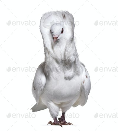 Jacobin pigeon also known as a fancy pigeon or capucin pigeon standing against white background