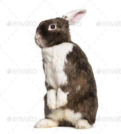 Rabbit on hind legs in white studio, portrait