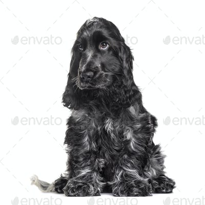 Cocker Spaniel puppy , 3 months old, sitting against white background