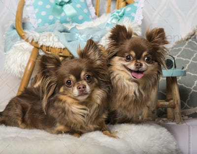 Chihuahua dogs lying on fur in studio sitting on chair in studio, portrait