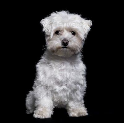 Maltese dog, 2 years old, sitting against white background