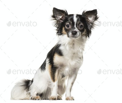 Chihuahua dog , 9 months old, sitting against white background