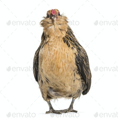 Barbu de Grubbe chicken, standing against white background