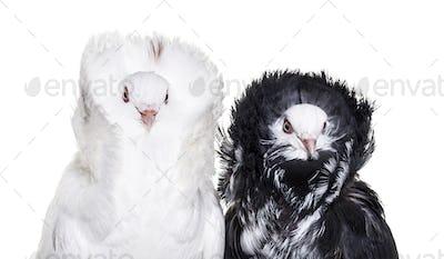 Black and white Jacobin pigeons against white background