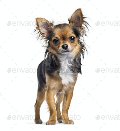 Chihuahua dog, 7 months old, standing against white background