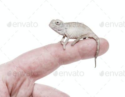 Young veiled chameleon, Chamaeleo calyptratus, against white background