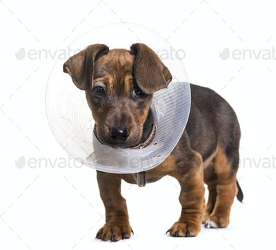 Dachshund dog, 2 months old, standing against white background