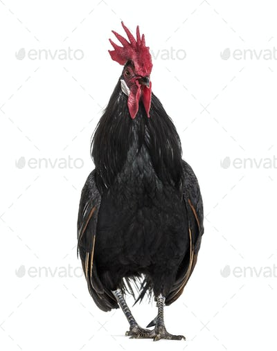 Bassette Liegeoise, a breed of large bantam chicken from Belgium, standing against white background