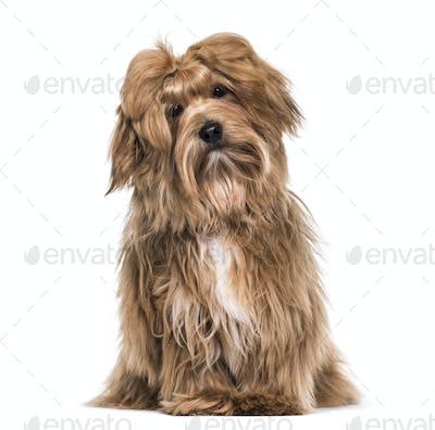 Havanese dog , 8 months old, sitting against white background