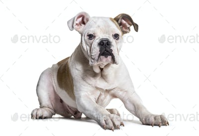 French Bulldog, 5 months old, against white background
