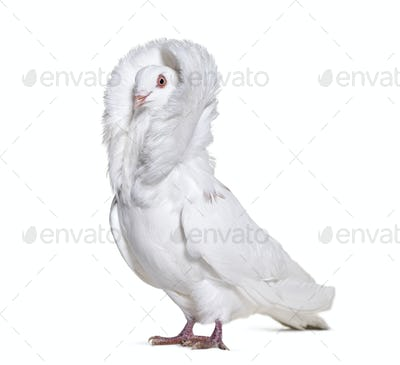 White Jacobin pigeon standing against white background