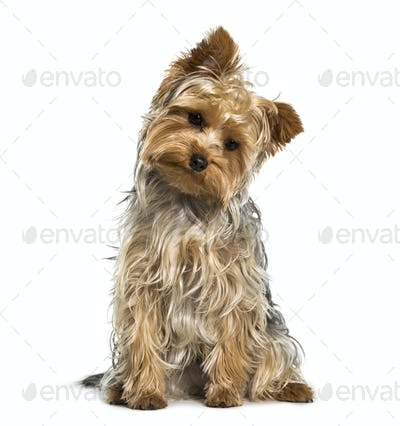 Yorkshire terrier dog looking down against white background