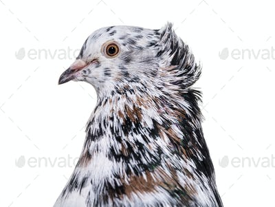 English Fantail pigeon close up against white background