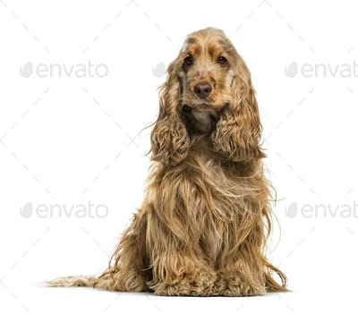 English Cocker Spaniel dog, 2 years old, sitting against white background