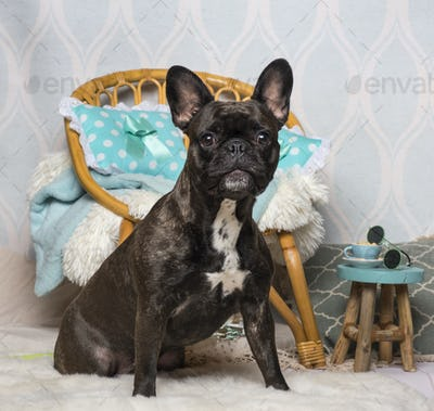 French bulldog sitting in domestic room, portrait