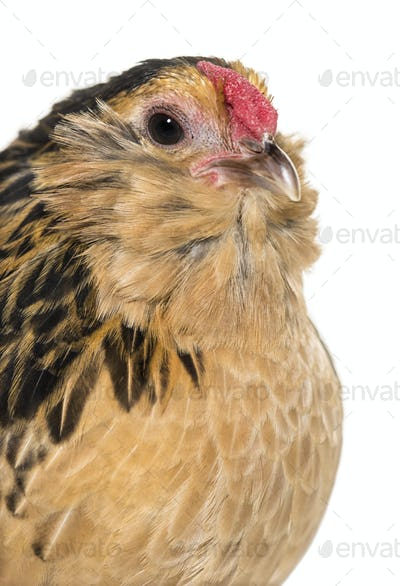 Barbu de Grubbe chicken against white background