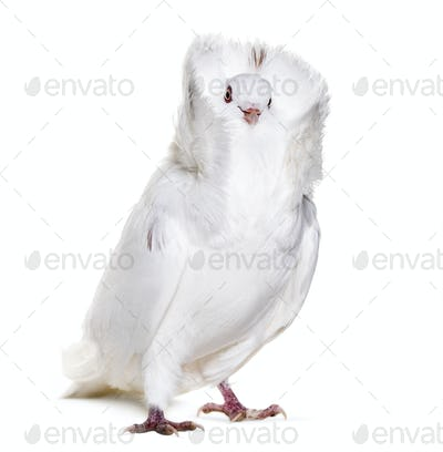 White Jacobin pigeon against white background