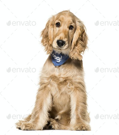 Cocker Spaniel dog , 6 months old, sitting against white background