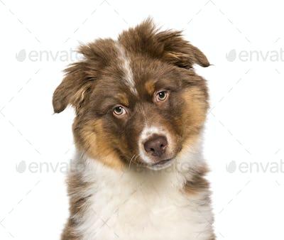 Australian Shepherd puppy portrait against white background