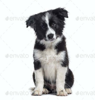 Border Collie puppy, 17 weeks old, sitting against white background
