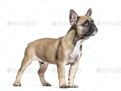 French Bulldog, 5 months old, standing against white background
