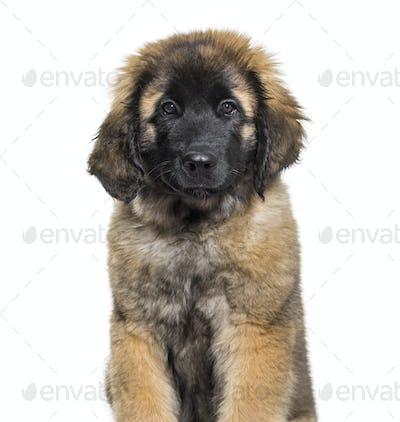 Leonberger puppy portrait against white background