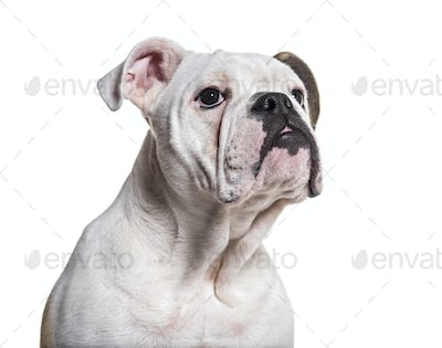 French Bulldog, 5 months old, close up against white background