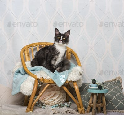 Maine coon cat sitting on chair in studio, portrait