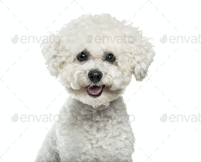 Bichon Frise dog in portrait against white background