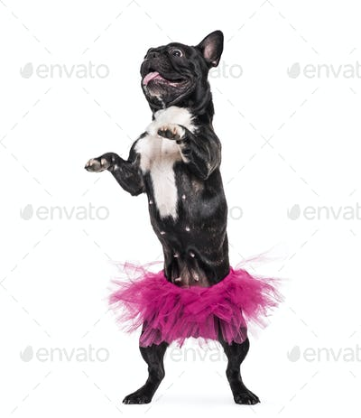 French Bulldog, 1.5 years old, dancing in tutu standing against white background