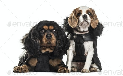 Cavalier King Charles Spaniels , 3 years old and 5 years old, sitting against white background