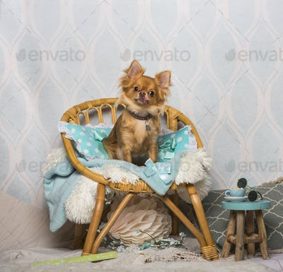 Chihuahua dog sitting on chair in studio, portrait
