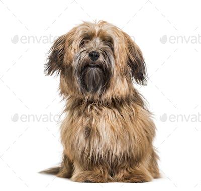 Havanese dog, 8 months old, sitting against white background