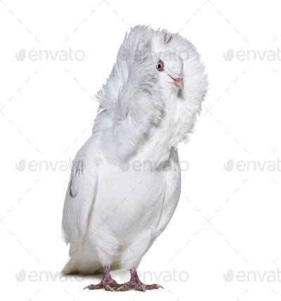 White Jacobin pigeon in portrait against white background