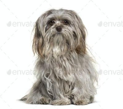 Shih Tzu dog , 1 year old, sitting against white background