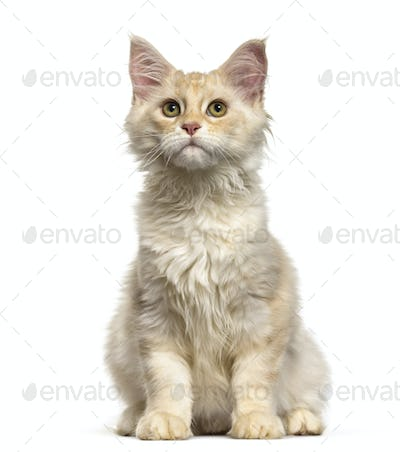 Maine Coon cat, 6 months old, sitting against white background