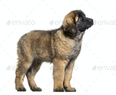 Leonberger puppy looking up  against white background