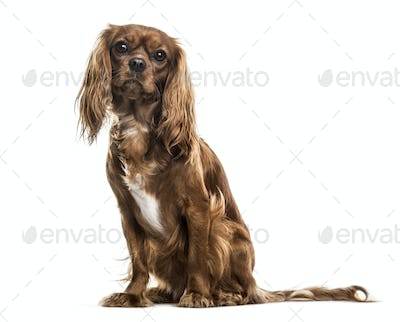 Cavalier King Charles Spaniel , 1 year old, sitting against white background