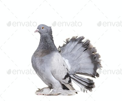 English Fantail pigeon against white background