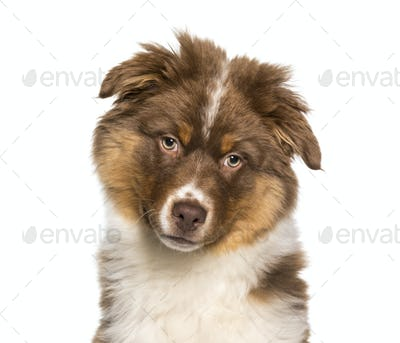 Australian Shepherd puppy in close up against white background