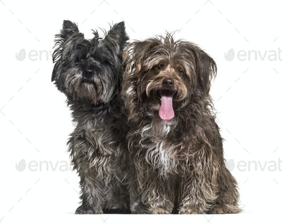 Mixed-breed dogs sitting together against white background