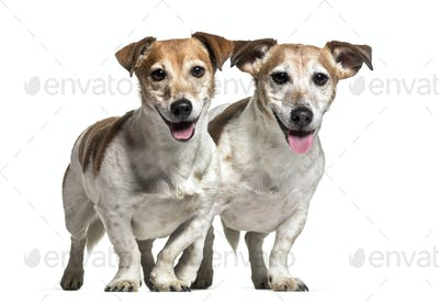 Jack Russell dogs , 8 years old, together standing against white background