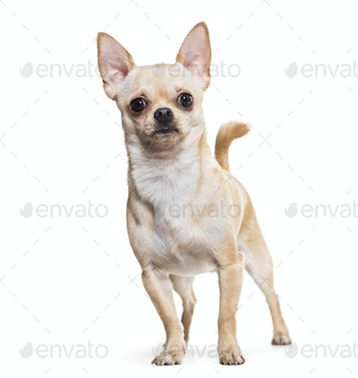 Chihuahua dog, 14 months old, standing against white background