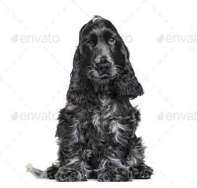 Cocker Spaniel puppy , 3 months old, sitting against white background
