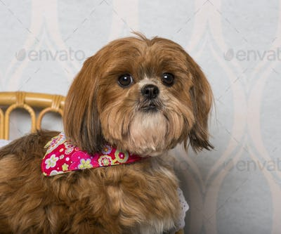 Shih Tzu dog in floral clothing sitting in domestic room, portrait