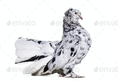 English Fantail pigeon portrait against white background
