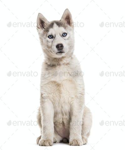Husky dog, 2 months old, sitting against white background