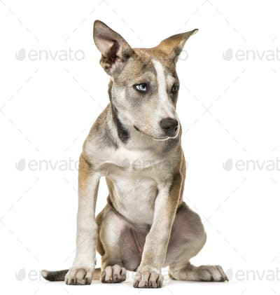 Mixed-breed dog , 3 months old, sitting against white background