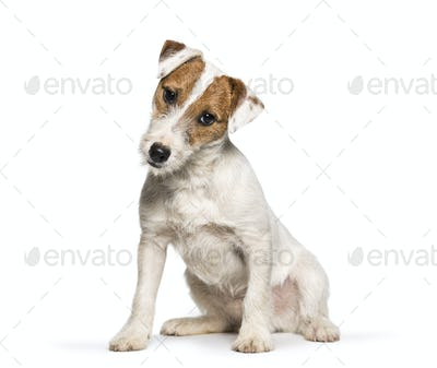 Jack Russell Terrier puppy sitting against white background