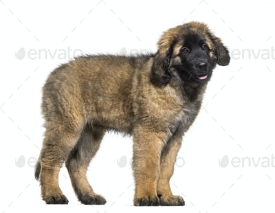 Leonberger puppy standing  against white background